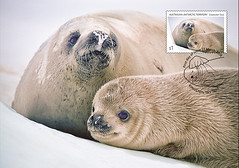 Crabeater Seals - Mother and pup (helent.postcards) Tags: postcards maxicards