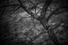 2018.04.16_106/365 - between winter and spring (Taema) Tags: bw bwphd2018 blackandwhite twigs tree art graydreaming