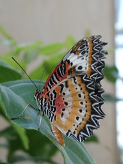 P4190175 (Steve Guess) Tags: horniman museum butterfly forest hill london england gb uk