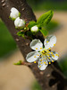 Plum blossoms and buds (Raoul Pop) Tags: garden home flowers spring plumblossoms