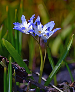 Beautiful spring 2018 🌷  Forbes' glory-of-the-snow. Scilla