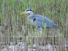 Heron (LouisaHocking) Tags: heron forest farm cardiff nature wild wildlife british bird birds