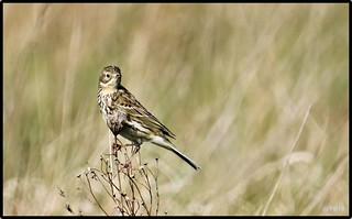 Anthus pratensis.  Meadow Pipit (Explored)