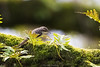 D50_8469.jpg (ManuelSilveira) Tags: trepadeiracomum aves fauna