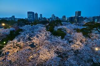 舞鶴公園夜桜 / Cherry Blossoms of Maizuru Park