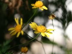 Hay danzas sensuales en el brillo fijo de la luz (leograttoni) Tags: naturaleza nature flor flower margarita daisy planta jardín garden airelibre laplata buenosaires
