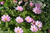 Cosmea - Cosmos (boisderose) Tags: cosmea cosmos fiori flowers aprile april 2018 primavera spring boisderose xiiihortitergestini exploreapr212018365