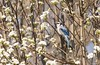 Has Spring Finally Arrived? (swmartz) Tags: outdoors nikon nature newjersey april 2018 hamilton mercercounty backyard blue bluejay birds