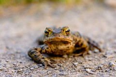 Frog (michaellawsphotography) Tags: frog frogs animal animals nature naturephotography wildlife wildlifephotography macro bokeh nikon nikond7100 d7100 colour color colours colors colourful colorful