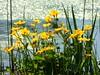 Sumpfdotterblumen (libra1054) Tags: sumpfdotterblumen marshmarigold caléndulaacuática caltapalustre populagedesmarais calthapalustris blumen flores fiori flowers fleurs flora gelb giallo amarillo jaune amarelo yellow nature outdoor