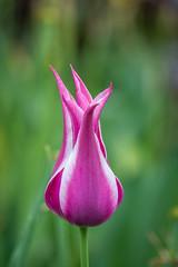 tulips with several points (Pejasar) Tags: tulip garvanwoodlandgardens hotsprings arkansas bloom blossom garden color