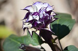 Exotic curvy edged purple Datura flower