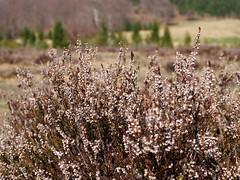 csarab / heather (debreczeniemoke) Tags: tavasz spring forrásliget izvora izvoare virág flower csarab commonheather ling heather callunavulgaris bruyèrecallune besenheide heidekraut iarbaneagră hangafélék ericaceae olympusem5