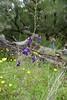 Delphinium patens ssp. patens, SPREADING OR ZIGZAG LARKSPUR (openspacer) Tags: josephgrantcountypark santaclaracounty ranunculaceae delphinium larkspur