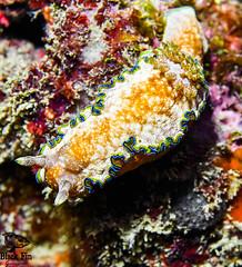 Glossodoris cincta (Black Fin Grouper) Tags: locations 60mm nikon nudibranch sunabeseawall d500 60feetor18meters glossodoriscincta nikkor depth species nikond500