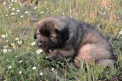 """Ich glaube mein Name heißt nicht """"Gänseblümchen"""" oder """"Margerite"""" - Apu Salut (ottimaks) Tags: hunde"""