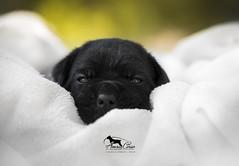 Amra Corso Absolutely No1 (Amra Corso kennel, Serbia) (Katarina Drezga) Tags: dogs dogphotography petphotography pets canecorso puppy puppies nikond750 tamron70200vcg2