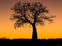 The Boab Tree (Eifeltopia) Tags: boab tree baum affenbrotbaum adansoniagregorii monkeybreadtree parkinglot sunset broome australia young shadow light silhouette grass flowers black wa roebuckbay goldenestunde goldenhour