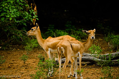 Deer_Stares Back-3 (BARUN DASH) Tags: deer unspotted impala wildlife wild animal love lover stare look gracious romance private trending new wow park golden nikon d3400 photography tame loved grace winner jumper gazelle mammal stag grass