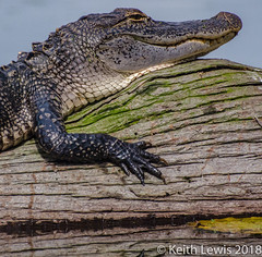 The last time ever I saw your face (keithhull ( taking a break )) Tags: alligator gator lakemartin breauxbridge louisiana wildlife unitedstates 2014