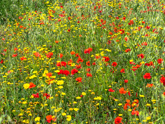 Red and Yellow flowers (JRPics.) Tags: coastalpath sand nature westcountry crantock westpentire sea beach olympusomdem1mk2 cliffs nationaltrust coast wildflowers seascape cove cornwall uk rocks