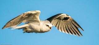 Black-shouldered Kite Elanus axillaris Accipitridae