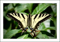 Western Tiger Swallowtail Butterfly (juliemarie.stollery) Tags: butterfly swallowtail westerntigerswallowtail insect animal wildlife nature