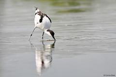 Avocet (Corine Bliek) Tags: recurvirostraavosetta bird birds vogel vogels nature natuur waders steltlopers waterbirds water lake meer