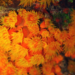 Orange Cup Coral thumbnail