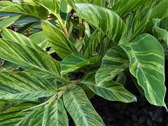 Wheaton, IL, Cantigny Park, Plants (Mary Warren 11.3+ Million Views) Tags: wheatonil cantignypark nature flora plant leaves foliage green garden park variegation tropical