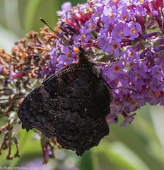 9Q6A1776 (2) (Alinbidford) Tags: alancurtis alinbidford brandonmarsh nature wildlife butterfly