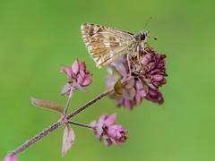 sencilla y elegante al natural (Santi BF) Tags: mariposa papallona butterfly insecte insecto insect bicho bug macro closeup aproximación lepidoptera lepidóptero
