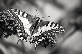 Old World Swallowtail (in explore 2018-07-20)