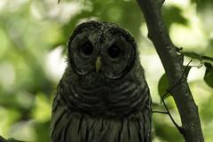 (Rick 2025) Tags: birds raptors owls barredowls juvenile fledgings hunting