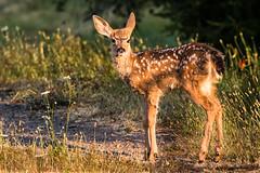 Early morning fawn (Brown Acres Mark) Tags: blacktaileddeer odocoileushemionuscolumbianus siskiyoumountains jacksoncounty oregon usa markheatherington