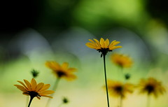 flower 1576 (kaifudo) Tags: sapporo hokkaido japan botanicalgarden flower heliopsishelianthoides 札幌 北海道 北大植物園 ヒメヒマワリ 姫向日葵 キクイモモドキ nikon d810 nikkor afs 70200mmf28gedvrii 70200mm