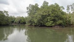 Mangroves around Ah Mah's Drinkstall at Sungei Jelutong, Pulau Ubin (wildsingapore) Tags: pulau ubin mangroves landscape shore singapore marine coastal intertidal seashore marinelife nature wildlife underwater wildsingapore