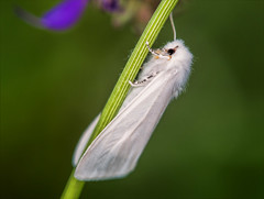 Night in White Satin (Kathy Macpherson Baca) Tags: papillon insects moth white planet preserve fly butterfly macro moodyblues world summer earth caterpillar insect flower