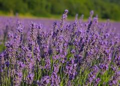Lavender Fields @ Shoreham (Adam Swaine) Tags: lavender lavenderfields darentvalley counties countryside england rural englishlandscapes english summer beautiful uk ukcounties nature naturelovers seasons purplegreen fields britain british kent kentishlandscapes