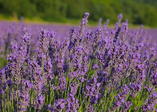 Lavender Fields @ Shoreham