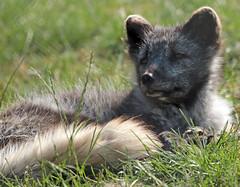 arctic fox Blijdorp JN6A6462 (j.a.kok) Tags: vos fox arctic arcticfox poolvos noordpool northpole blijdorp animal mammal zoogdier dier predator