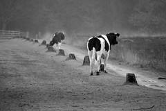 Drenthe (The Netherlands) - Anloo - De Strubben-Kniphorstbosch - Cows - 4 (Björn_Roose) Tags: bjornroose björnroose drenthe nederland netherlands niederlände paysbas destrubbenkniphorstbosch animal dier cows koeien heath heide anloo