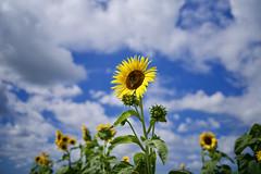 osanpo_173 (gnsk) Tags: pentax pentaxart smcfa 31mmf18al 31mm fa31 limited k1 sunflower summer japan bokehlicious