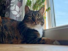 Vill gå ut… (Patrick Strandberg) Tags: sweden östergötland vikingstad sachi cat katt iphone iphonex