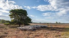 Border Collie 'hunts' the sheep (© Jenco van Zalk) Tags: 2018 ram herdershond veluwe dopheide renderklippen zomer melk vlees ovis heidebeheer bordercollie schapen heerde voedselarmegrond schaapskudde kuddedier nutsdier natuur droogte hond wol landbouw epe kudde gedomesticeerd verdroogd grazen landschapsbeheer eenhoevig herkauwer heidelandschap ooi toerisme heide platteland natuurgebied droog boerderijdier veluwsheideschaap oormerk dier erica heidevelden drijven struikheide