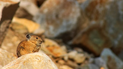 Pika (Ochotona princeps) (phl_with_a_camera1) Tags: nature utah morning sunrise animal wildlife mammal pika ochotona princeps rodent