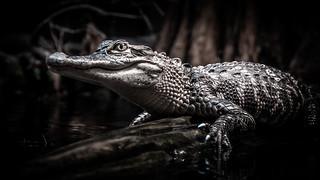 Juvenile Alligator Resting