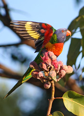 Rainbow Lorikeet 045 (DMT@YLOR) Tags: wings flight lorikeet rainbowlorikeet multicolour red blue green yellow orange nature goodna ipswich queensland australia aussie leaf leaves redfloweringgumtree gum flower gumnuts
