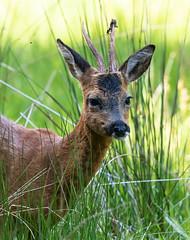 Roe Buck 30-06-2018-1213 (seandarcy2) Tags: deer animals mammals aviemore uk roe wildlife