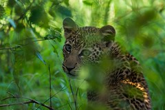 Into the trees (iamfisheye) Tags: leopardcub 300mm vr kenya asilia d7100 rekerocamp kenya2016 tc14iii f4 afs nikond7100 2016 pf nik03 masaimara